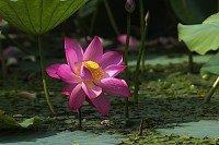 Buddha-Weekly-Lotus-emerges-untouched-from-the-mud-Buddhism